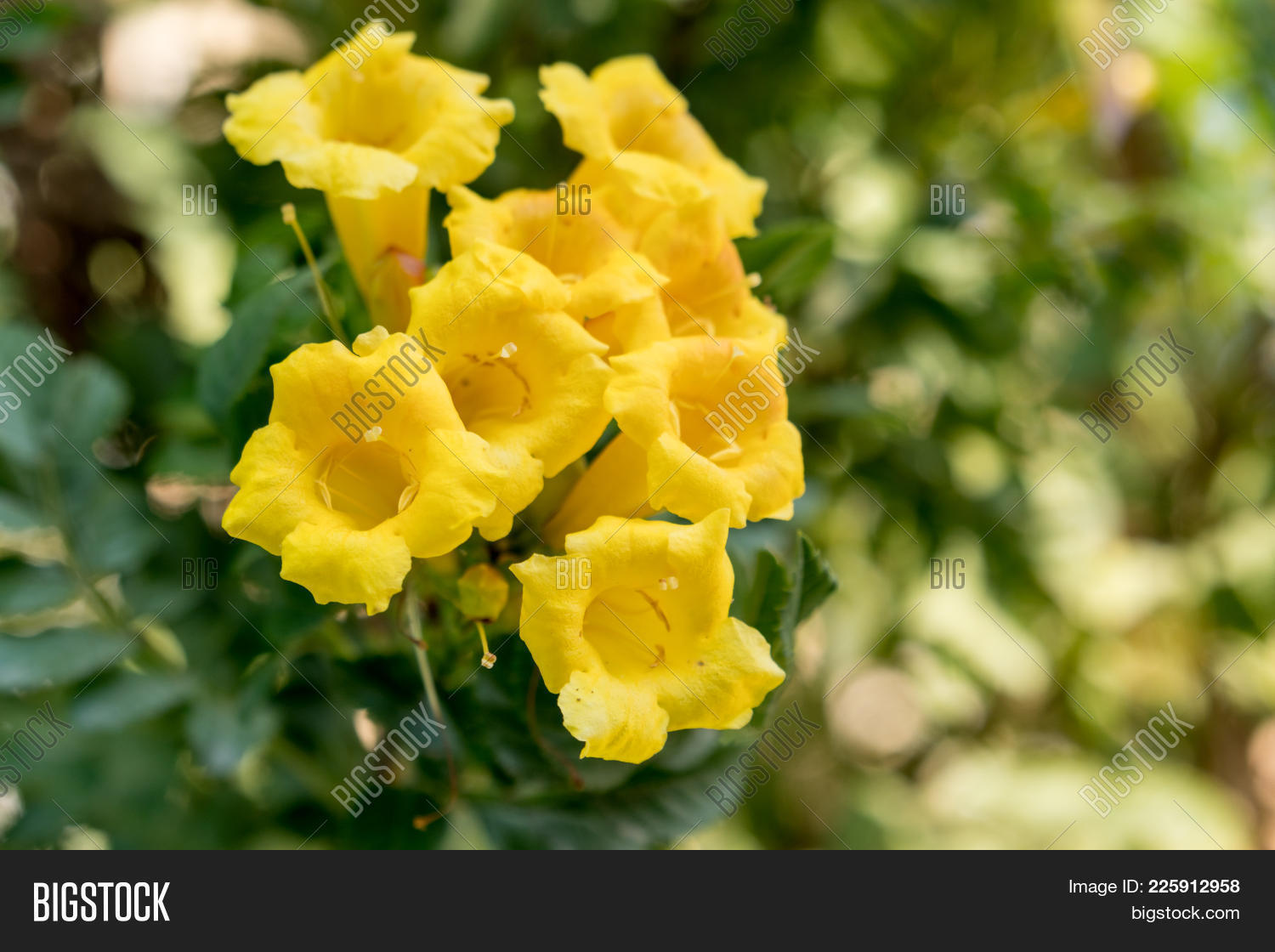Yellow Trumpetbush Image Photo Free Trial Bigstock
