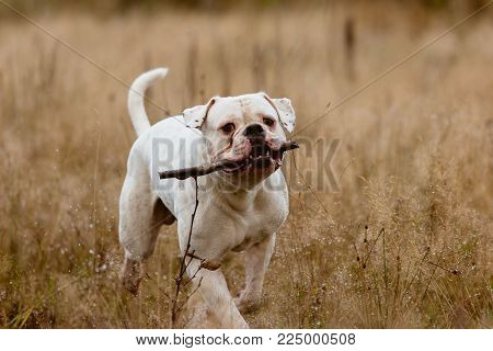 Big dog struggling and playing with stick on lawn in autumn.