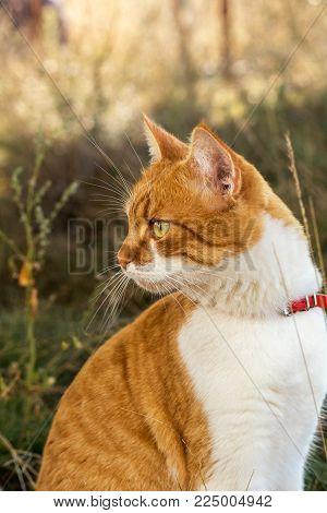 Cute White-and-red Cat Clean The Paws. Portrait Funny Cat Close Up.
