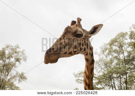 closeup of a Rothschild giraffe in Nairobi, Kenya