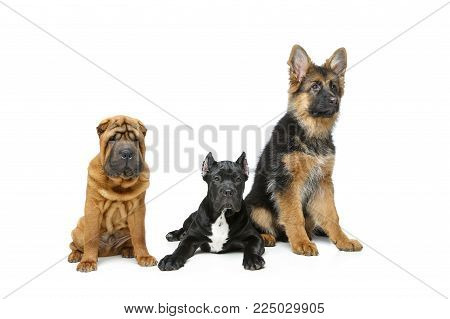 beautiful shar pei, cane corso and german shepard puppy dogs isolated on white background. copy space.