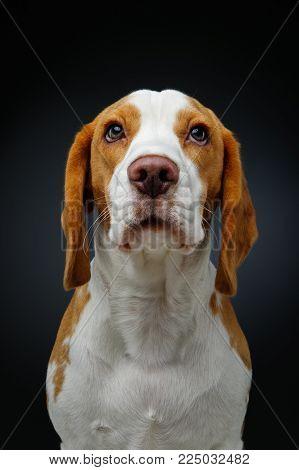 beautiful beagle dog girl isolated on black background. studio shot. copy space.