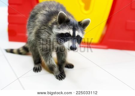 a curious raccoon, a pet, curious and funny