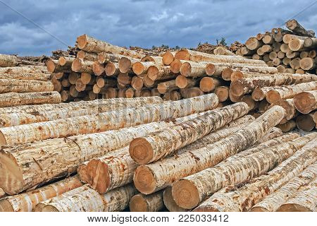 a large stock of harvested logs in the open air,  logs of birch, warehouse logs for furniture production
