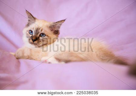 Portrait Of White Long Hair Birman Cat With Blue Eyes.