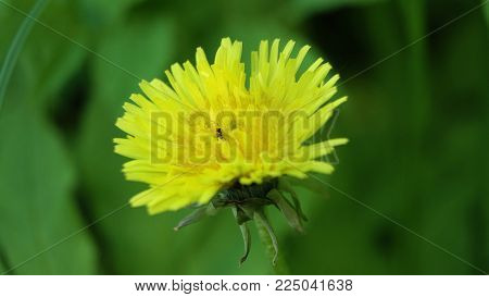 Yellow dandelion flower. Yellow dandelion flower in meadow close up, macro.