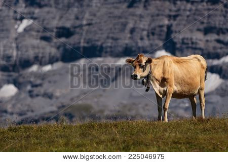 Brown cows in Bernese Alps in summer. Lauterbrunnen, Bernese Oberland, Switzerland