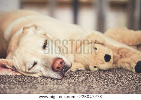 Cozy afternoon at home. Dog resting on the carpet. Yellow labrador retriever lying with his plush toy.
