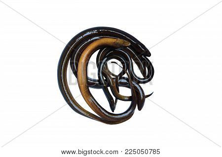 A Live Freshwater Eel On White Background  Isolated