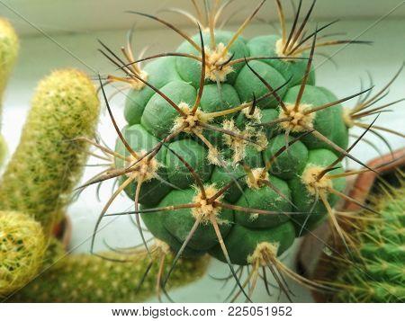 Nature green background, cactus tree. Close-up cactus, cacti, cactuses or cactus