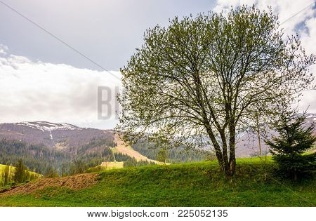 tree on a grassy hillside in mountains. lovely countryside springtime background on a cloudy day