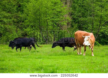 herd of cows on a pasture near the forest. big rufous cow in the foreground and forest in the distance. lovely scenery in springtime