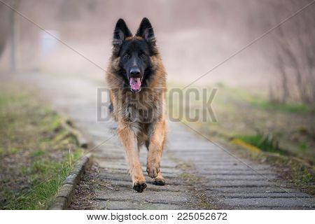 Beautiful running german shepherd dog in winter on a concrete path
