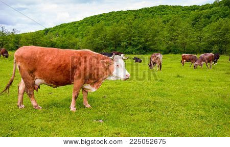 herd of cows on a pasture in mountains. big rufous cow in the foreground and forest in the distance. lovely scenery in springtime