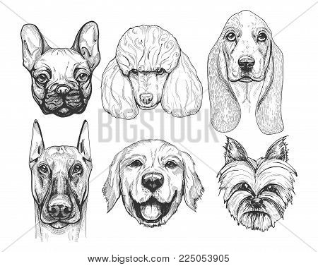 Vector illustration of a different dog breeds portraits. Pug or french bulldog (frenchie), poodle, basset hound, doberman, labrador retriever, yorkshire terrier. Hand drawn, detailed vintage pen drawing style.