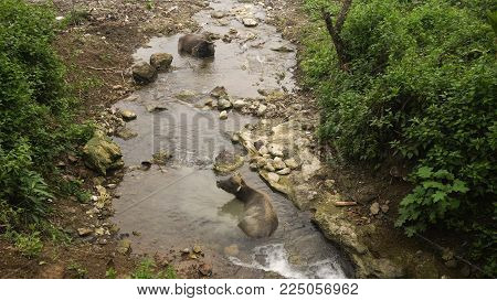 Asian bull cooled in a mountain river in the Philippines. Black bull lying in the river.