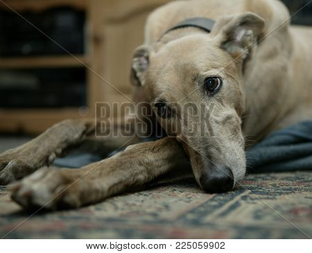 Greyhound Resting On Carpet In Close Up