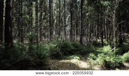 Pine forest. Depths of a forest. Journey forest paths. Trees without foliage in early spring. Trekking through the reserve.