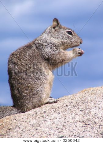Squirrel Sitting Straight Up At A Rock, Eating Something