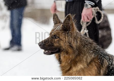 German shepherd on a walk in winter, portrait