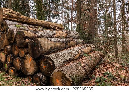 Woodpile Of Big Trees In The Forest