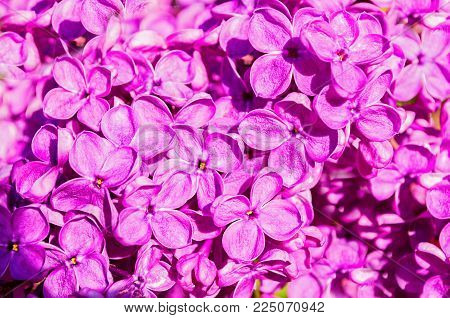 Summer Lilac Flowers Blooming In The Sunny Garden, Summer Flower Background. Closeup Of Summer Lilac
