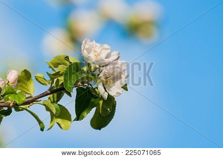 Spring Apple Flowers In Blossom Against Blue Sky, Spring Flower Background. Apple Tree Branch In The