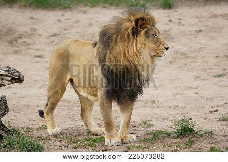 Denver Zoo Animal - Healthy Male Lion
