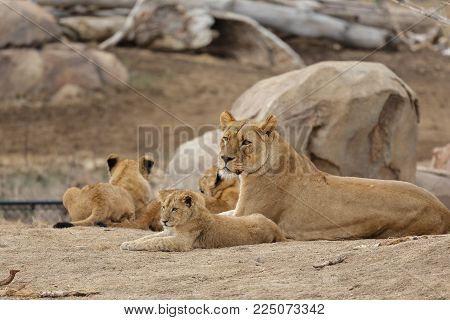 A Family of Lions - Denver Zoo Animal
