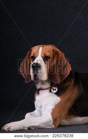 Beagle in studio portrait on dark grey background
