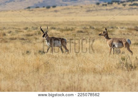 a pronghorn antelope buck and doe on the prairie
