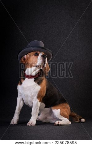 Beagle in studio full body portrait on dark grey background with hat on