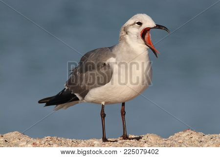 A  Laughing Gull, Leucophaeus atricilla in winter plumage calling on a beach in Florida