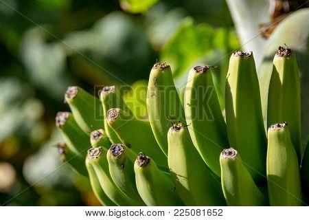 Banana plantation, bunch of green banana riping on banana tree, Canary Islands poster