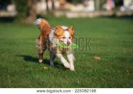 active border collie dog playing with a flying disc