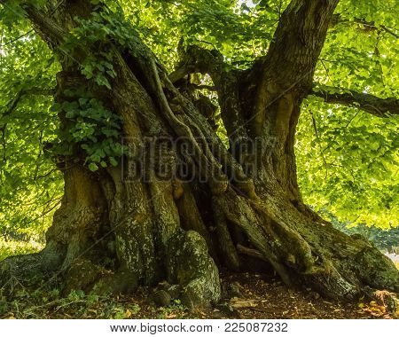 1000 years old stem of a linden tree at summer