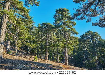 Atalanti national path.The trail goes around Chionistra mountain at an altitude of 1, 700 -1, 750 metres, passing through dense areas of black pine trees and Foetid Juniper.