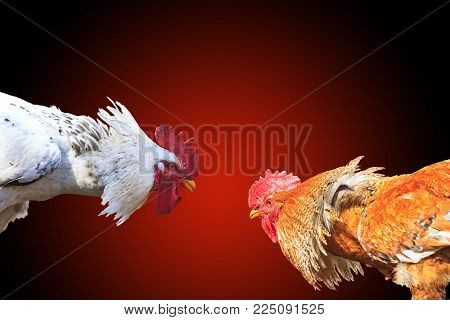 Two bird rivals are isolated on a red background , cocks, fight for the territory
