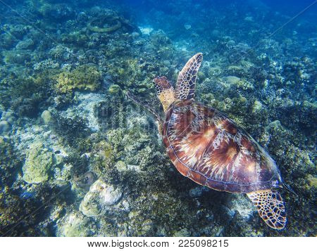 Sea turtle in tropical seashore underwater photo. Cute green turtle undersea. Marine tortoise swims above coral reef. Marine sanctuary for endangered species. Oceanic wildlife. Sea turtle in nature