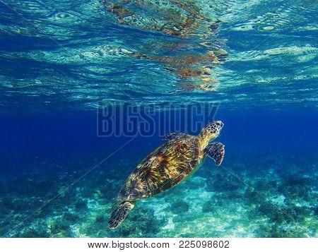 Sea turtle in tropical lagoon. Marine turtle diving for breath. Sea tortoise snorkeling photo. Cute green turtle photo. Oceanic animal in sea. Tropical waters life. Beautiful wild nature on seashore