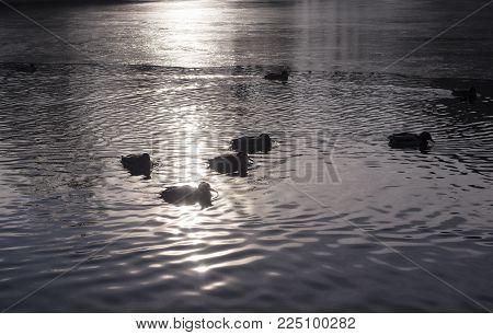 ducks on the freezing park lake at autumn sunset. background, animal