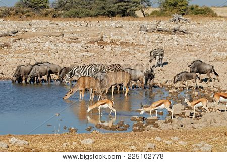 Blue wildebeest, zebras, kudu and springbok antelopes at a waterhole, Etosha National Park, Namibia