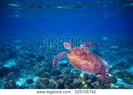 Sea turtle swims in sea water. Green sea turtle closeup. Wildlife of tropical coral reef. Tortoise undersea. Tropical seashore snorkeling. Marine turtle in blue water. Aquatic animal underwater photo