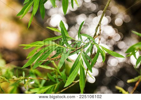 Branch of a weeping willow (Saliaceae) with beautiful bokeh in the background