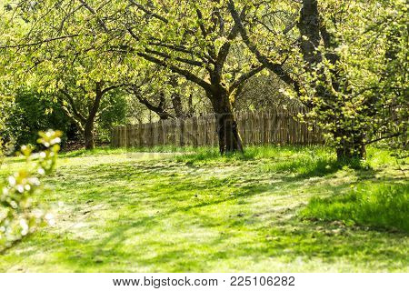 Garden with old fruit trees and wooden fence