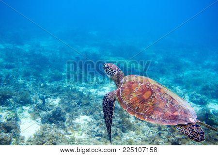 Sea turtle in shallow sea water. Green sea turtle closeup. Wildlife of tropical coral reef. Tortoise undersea. Tropical seashore snorkeling. Marine turtle in seawater. Aquatic animal underwater photo