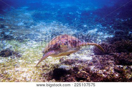 Sea turtle face portrait underwater photo. Green sea turtle closeup. Wildlife of tropical coral reef. Tortoise undersea. Tropical seashore snorkeling. Marine turtle in seawater. Aquatic animal closeup