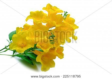 Tecoma stans or Yellow elder or Trumpetbush or Trumpetflower, beautiful flower on white background for botany and plant concept