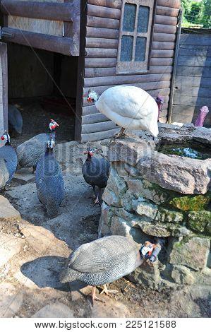 Helmeted Guineafowl On Farm