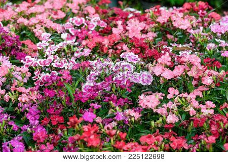 Colorful dianthus barbatus flower, flowerbed of dianthus chinensis flower, outdoor nature background, spring and summer season
